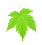 Green maple leaf Stock Photos