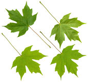 Green maple leaf Royalty Free Stock Images