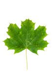 Green maple leaf isolated on white background Royalty Free Stock Images