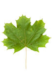 Green maple leaf isolated on white background Royalty Free Stock Photography