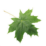 Green Maple Leaf isolated on white background. Clipping path included. Royalty Free Stock Photography