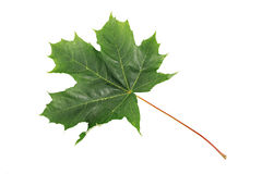 Green Maple Leaf isolated on white background. Clipping path included. Royalty Free Stock Photos