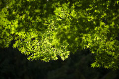 Green maple leaf. Japanese maple leaf and sun light in winter Royalty Free Stock Images