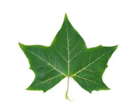 Green maple leaf (with path). Green maple leaf  on the white background Royalty Free Stock Photography