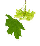 Green maple leaf and the seeds. Green leaves and seeds of maple on a white background close-ups Stock Photography