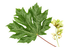 Green Maple Leaf and Seeds. A large green maple leaf with seeds Stock Photo