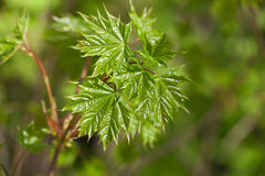 Green maple leaf Royalty Free Stock Photos