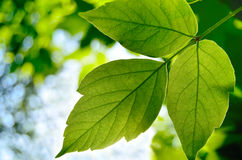 Green maple leaf. In the summer sun Royalty Free Stock Photography