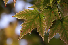 Green Maple Leaf Turning Stock Images