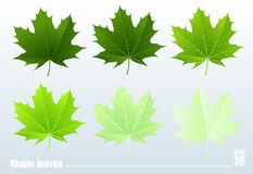 Green maple leaf. Vector. Set. Stock Photo