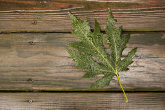 Green Maple Leaf on wet wood Royalty Free Stock Images