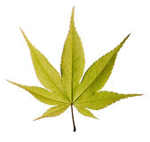 Green maple leaf on white background Royalty Free Stock Photo