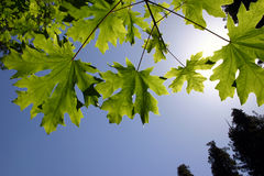 Green Maple Leafs. Green leafs and sky Royalty Free Stock Image