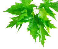 Green maple leafs Stock Photo