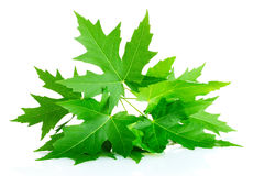 Green maple leafs Stock Photos