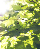 Green maple leafs Royalty Free Stock Photography