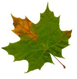 Green maple leave Stock Images