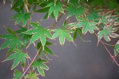 Green maple leave. Show nature background royalty free stock photography