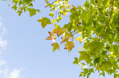Green maple leave Stock Photography