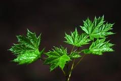 Green maple leaves. On black stock image