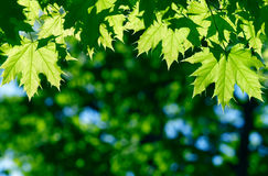 Green maple leaves Stock Photography