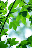 Green maple leaves Royalty Free Stock Photos