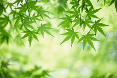 Green maple leaves Stock Images