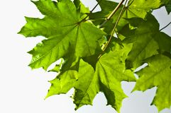 Green maple leaves Stock Photos