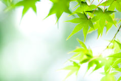 Green maple leaves stock image