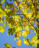 Green maple leaves against clear blue sky Stock Photography