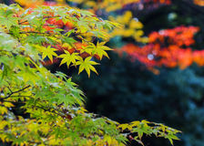 Green maple leaves in autumn Stock Image