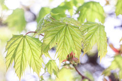 Green maple leaves. On a green background Royalty Free Stock Image