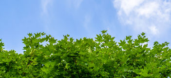 Green maple leaves on background of blue sky Royalty Free Stock Image