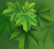 Green maple leaves background and dew drops Royalty Free Stock Images