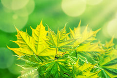 Green maple leaves background Stock Photo