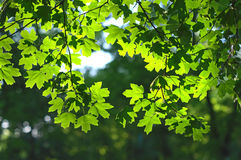 Green maple leaves backlight. Green maple leaves with backlight and blurred background royalty free stock photos
