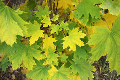 Green maple leaves begin to turn yellow in autumn closeup Stock Images