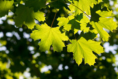 Green Maple leaves with blurred background Stock Images