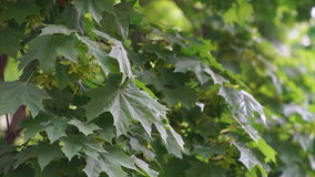 Green Maple Leaves stock video footage