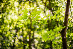 Green maple leaves and bokeh Royalty Free Stock Photo
