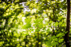 Green maple leaves and bokeh Stock Photography