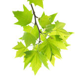 Green maple leaves with branch Royalty Free Stock Photos