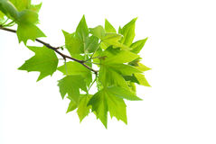 Green maple leaves with branch Royalty Free Stock Photography