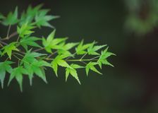 Green maple leaves on a branch found in Tokyo. In the Akigawa Valley, a branch of maple with green vivid leaves, typical emblematic of Japan Royalty Free Stock Photography