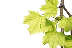 Green maple leaves on a branch isolated Stock Images
