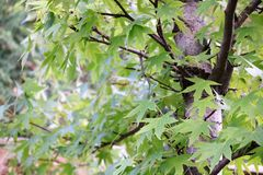 Green maple leaves on the branches of a tree Stock Photos