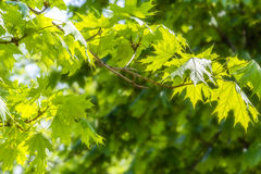 Green maple leaves close up Royalty Free Stock Photos
