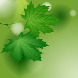 Green maple leaves. Royalty Free Stock Photos