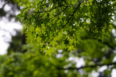 Green maple leaves foliage branches on rainy day with raindrop, Stock Images
