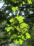 Green maple leaves Stock Photo